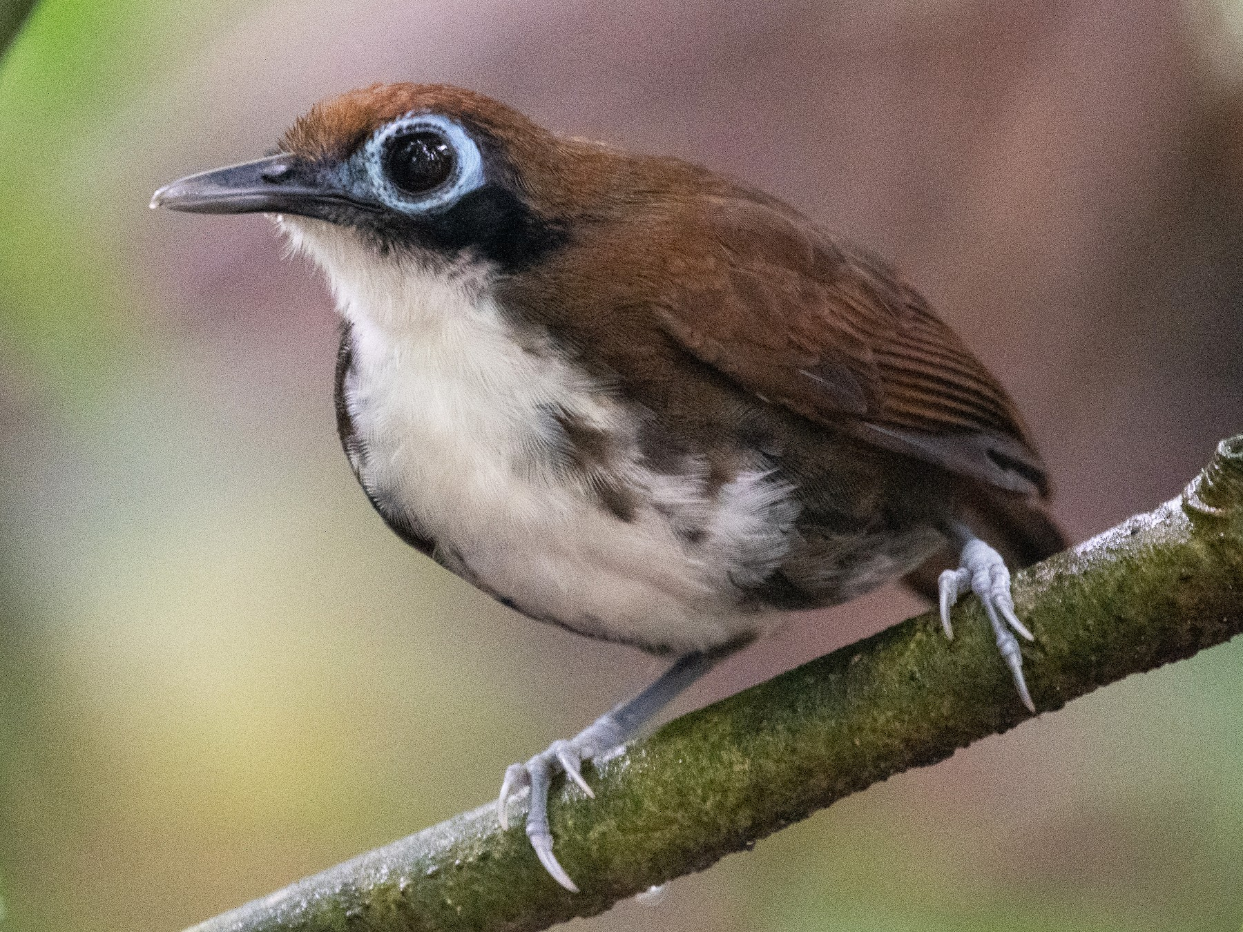 Bicolored Antbird - Matthew Bell