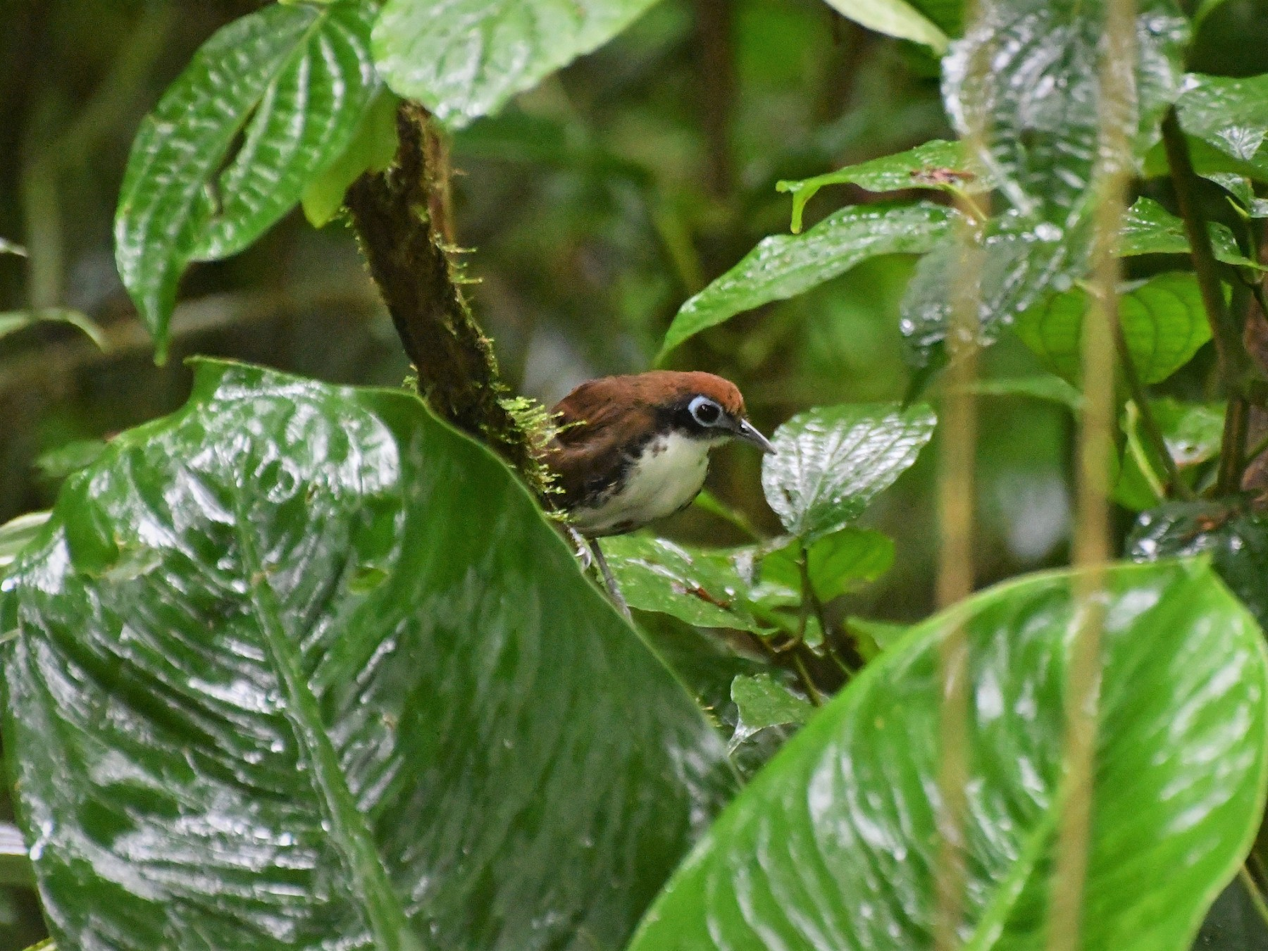 Bicolored Antbird - David W Foster