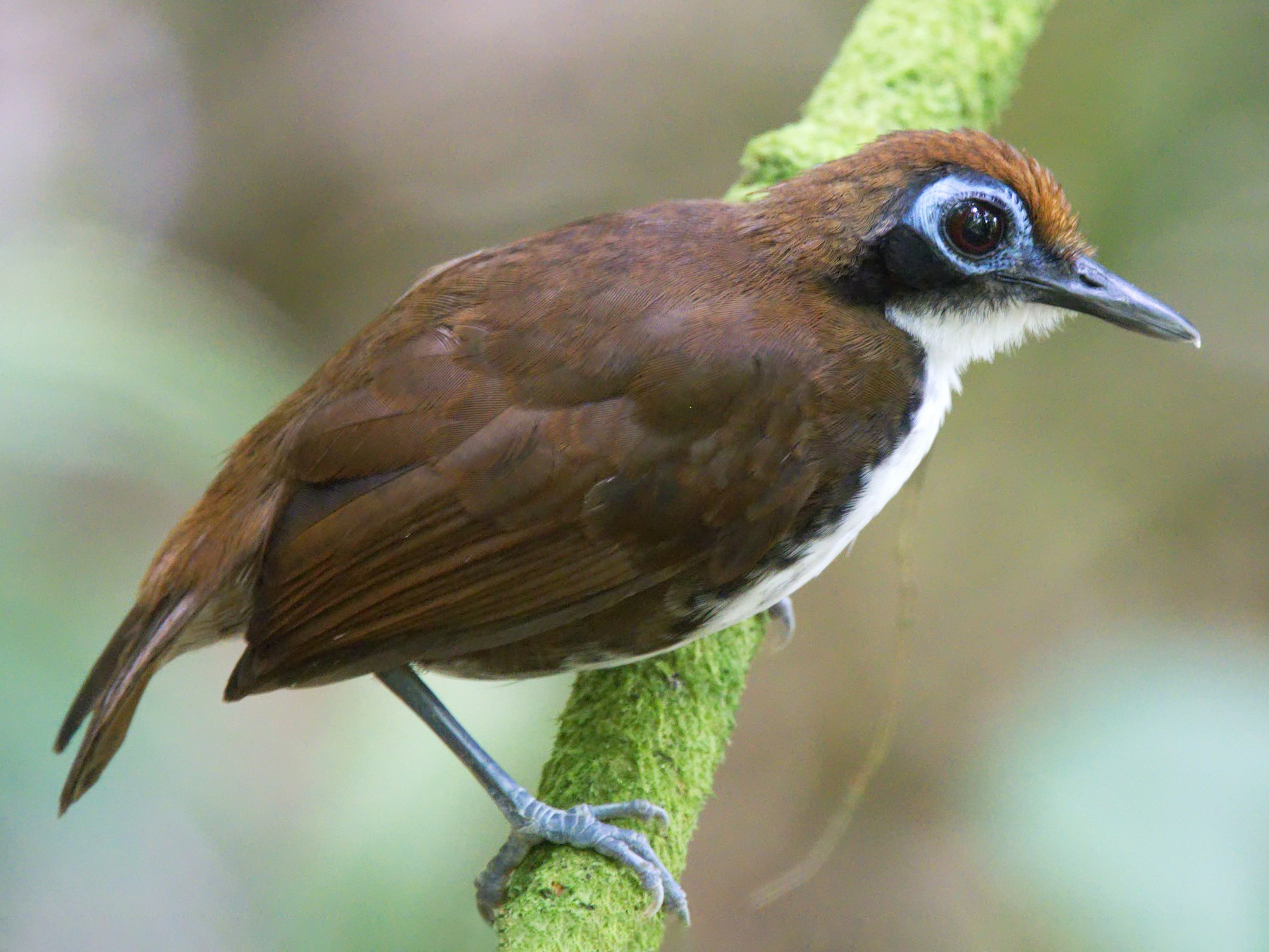 Bicolored Antbird - Forrest Rowland
