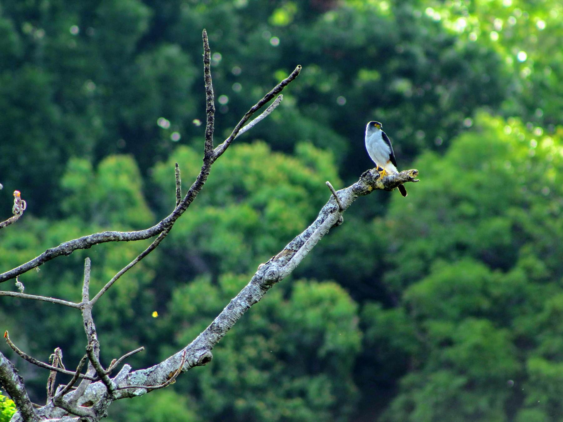Bicolored Hawk - Mauricio Morales Solorzano