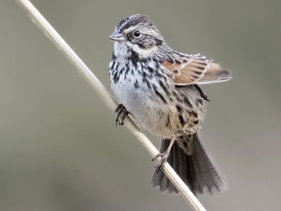 Sierra Madre Sparrow - Carl Giometti
