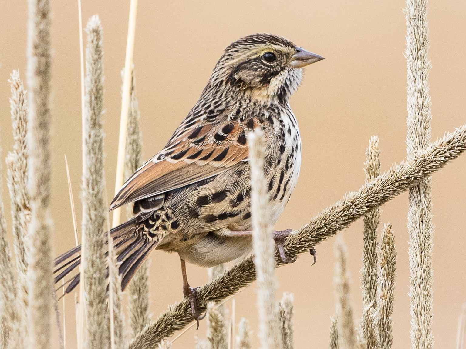Sierra Madre Sparrow - Stefan  Hirsch