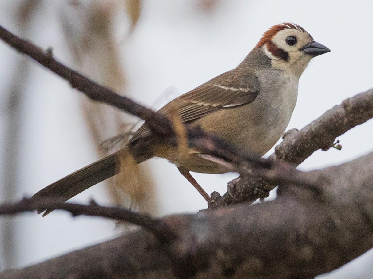White-faced Ground-Sparrow - Ian Davies