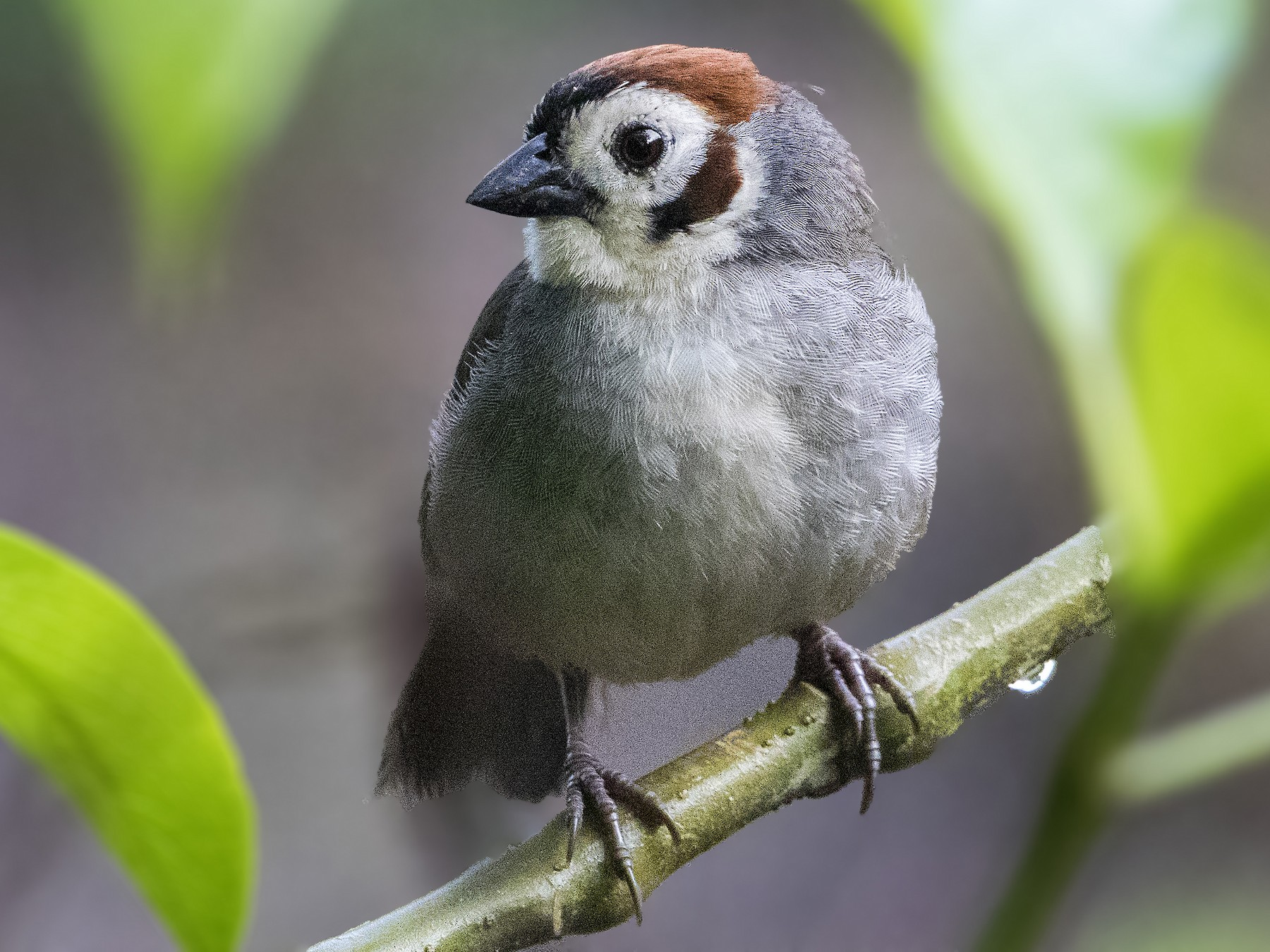 White-faced Ground-Sparrow - Bradley Hacker