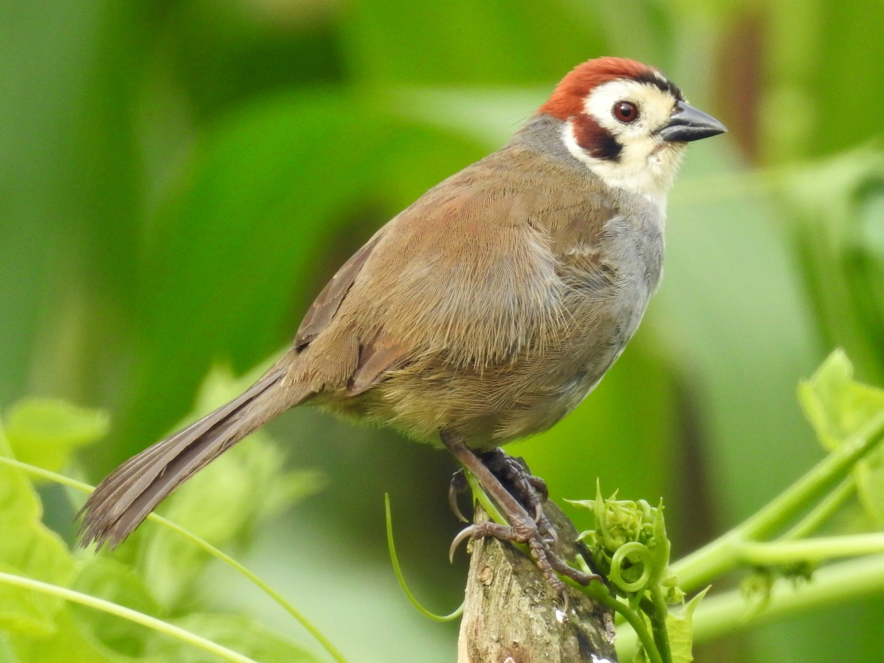 White-faced Ground-Sparrow - Rudy  Botzoc