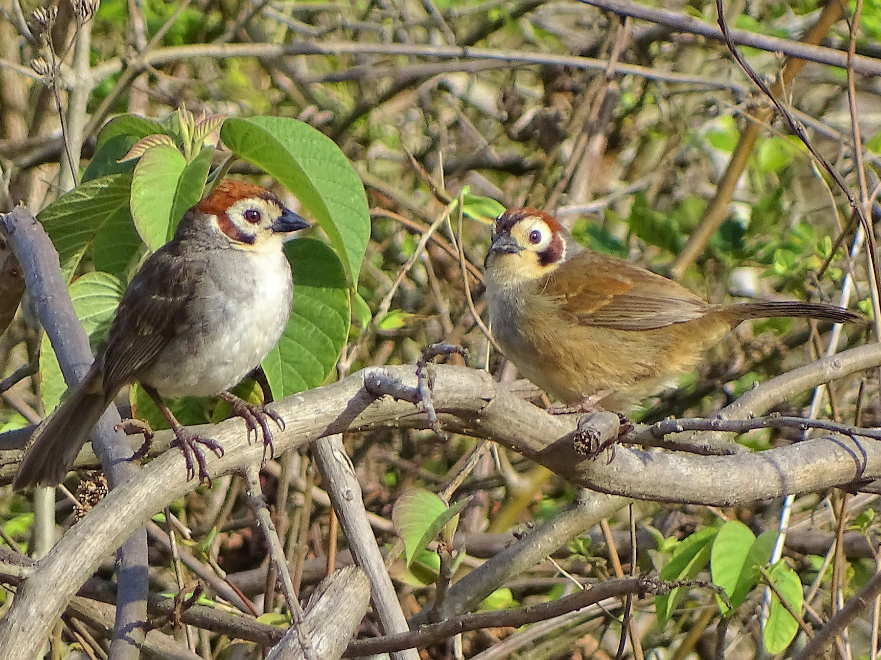 White-faced Ground-Sparrow - Alfonso Auerbach