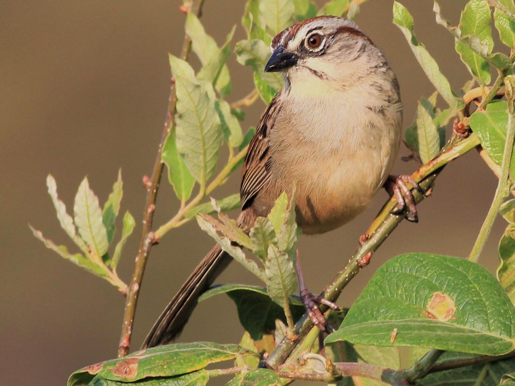 Oaxaca Sparrow - Mexico Birding TOURS (Eric Antonio Martinez)