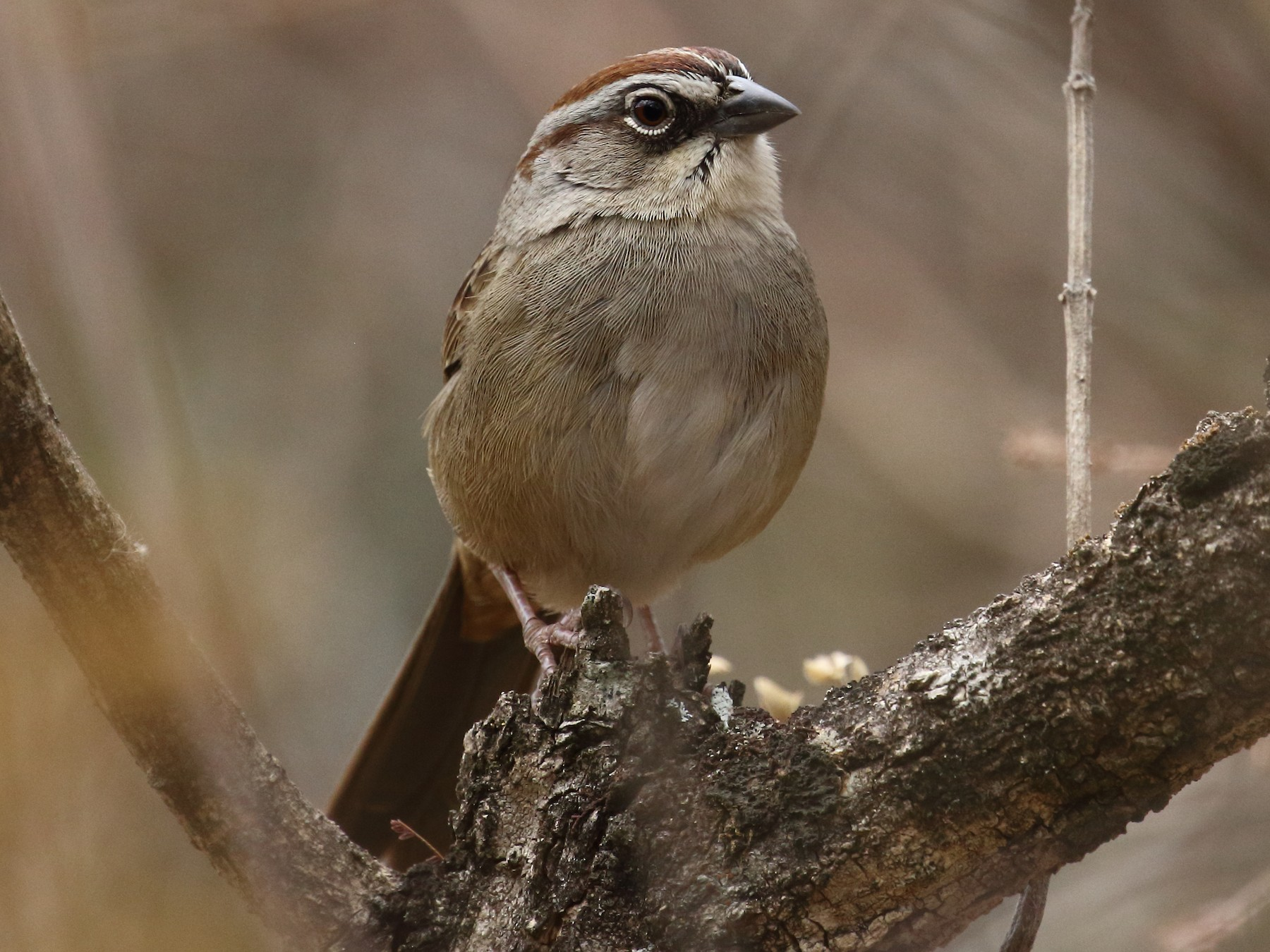 Oaxaca Sparrow - Curtis Marantz