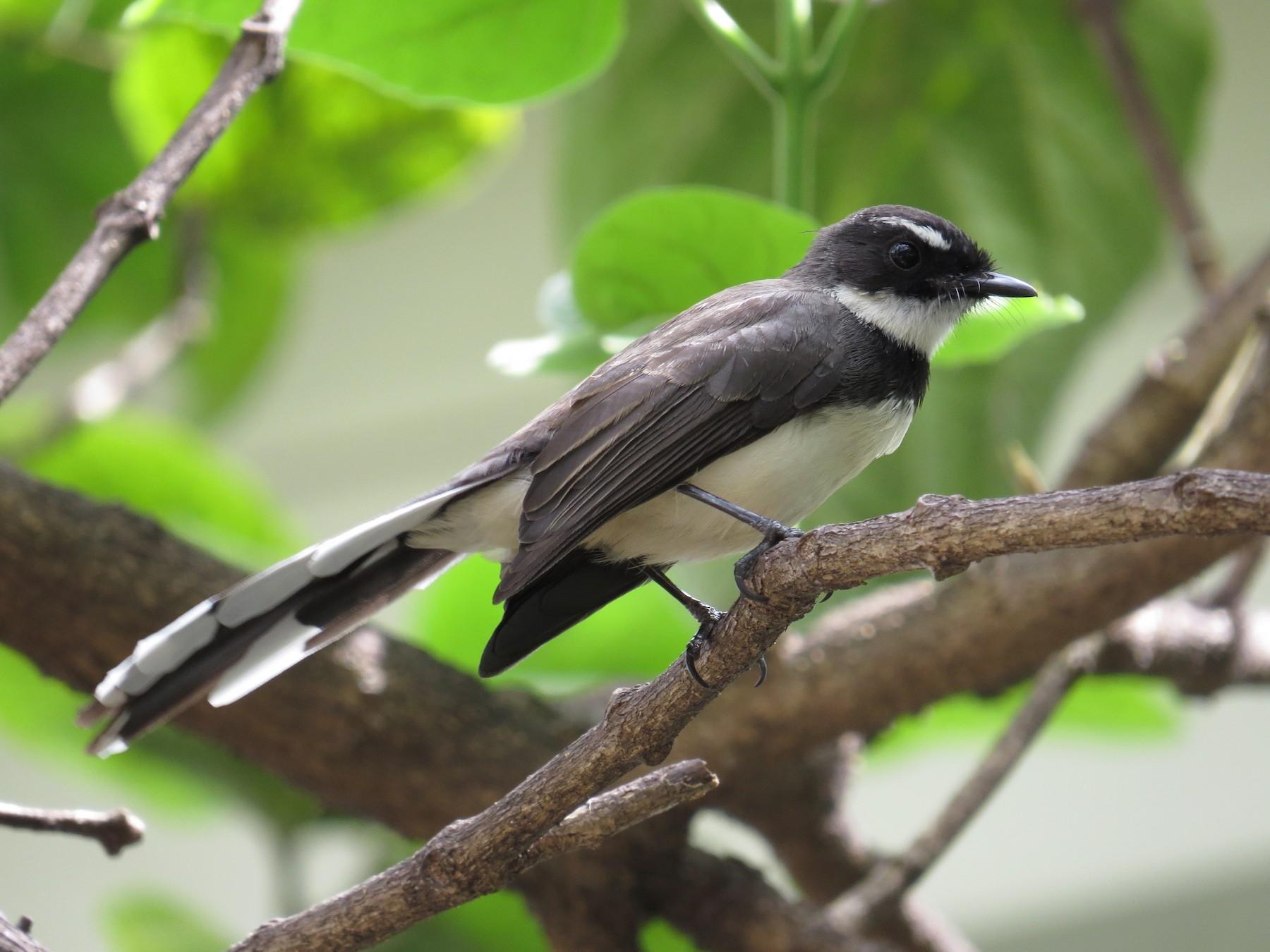 Philippine Pied-Fantail - George Inocencio