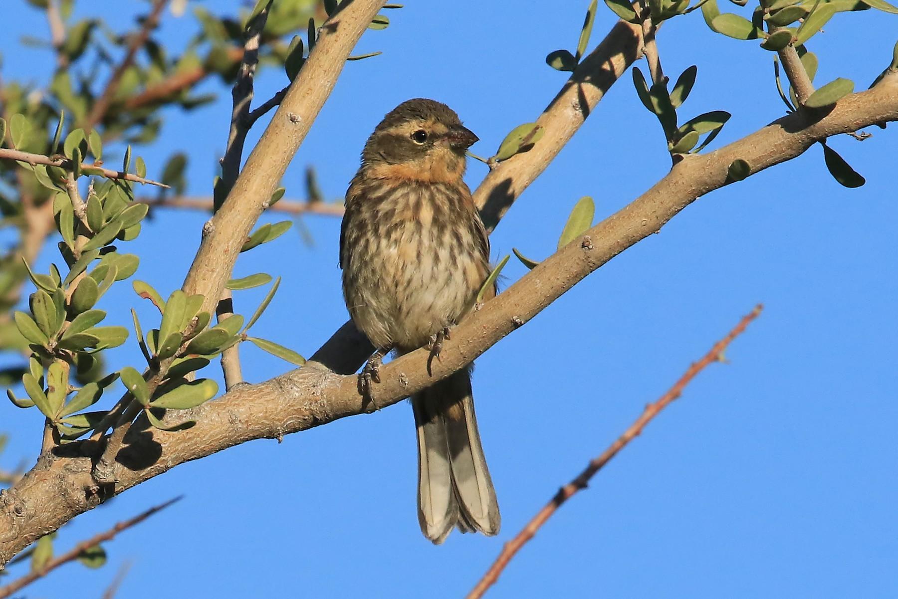 Cinnamon Warbling-Finch - Phillip Edwards