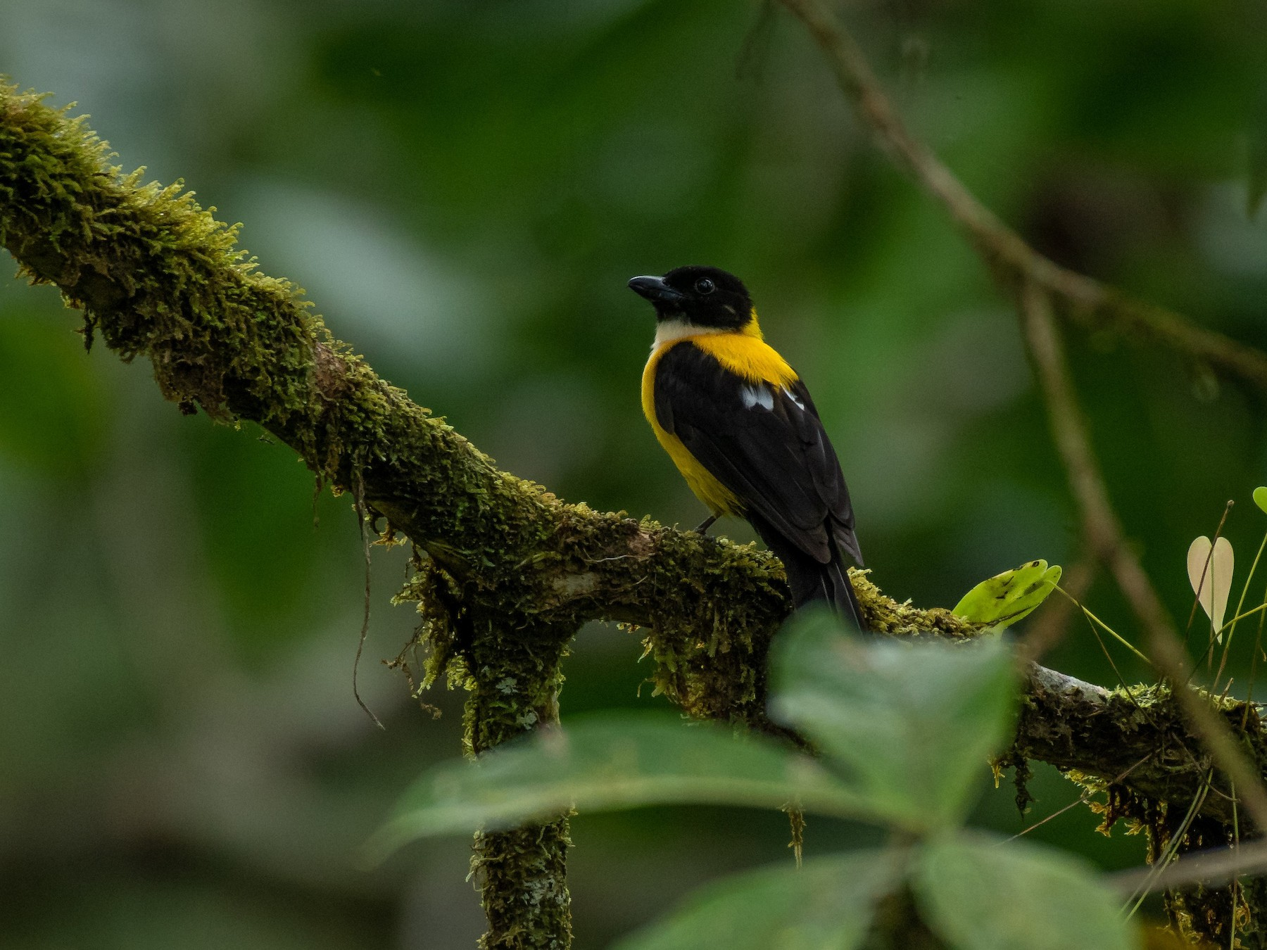 White-throated Shrike-Tanager - Rio Dante