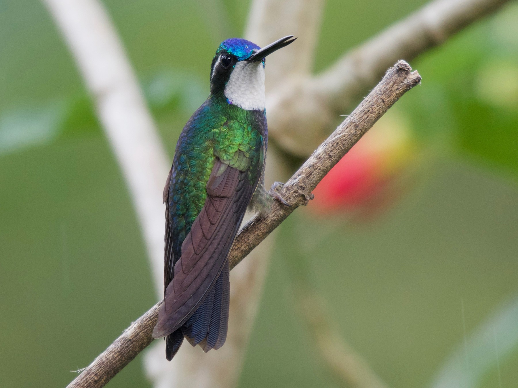 White-throated Mountain-gem - Jan Cubilla