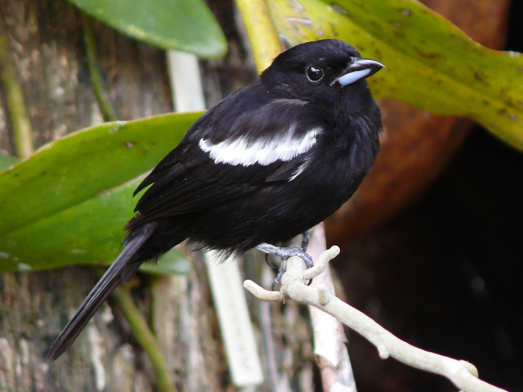 White-shouldered Tanager - Micheline Bisson