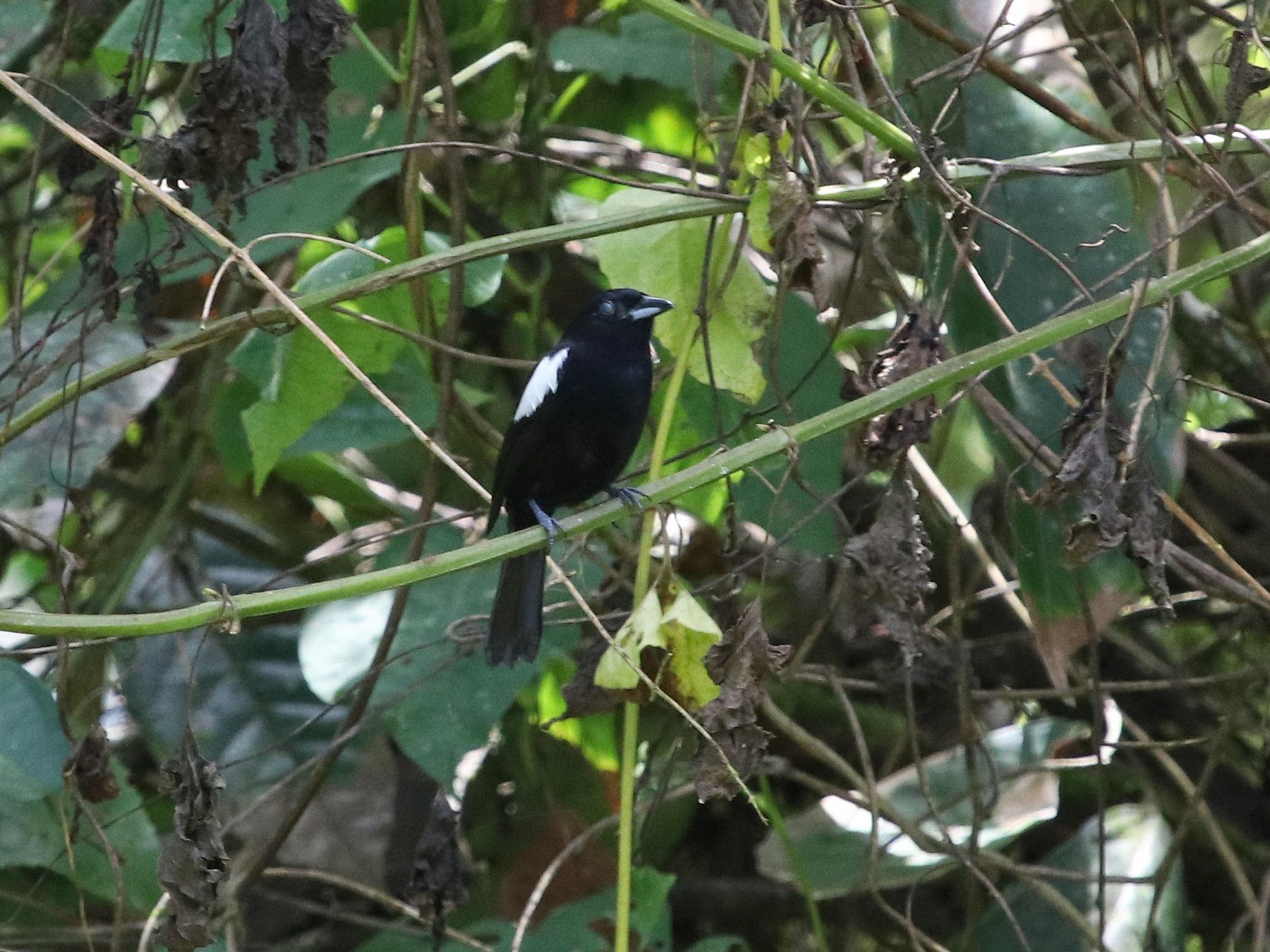 White-shouldered Tanager - Jerry Elling