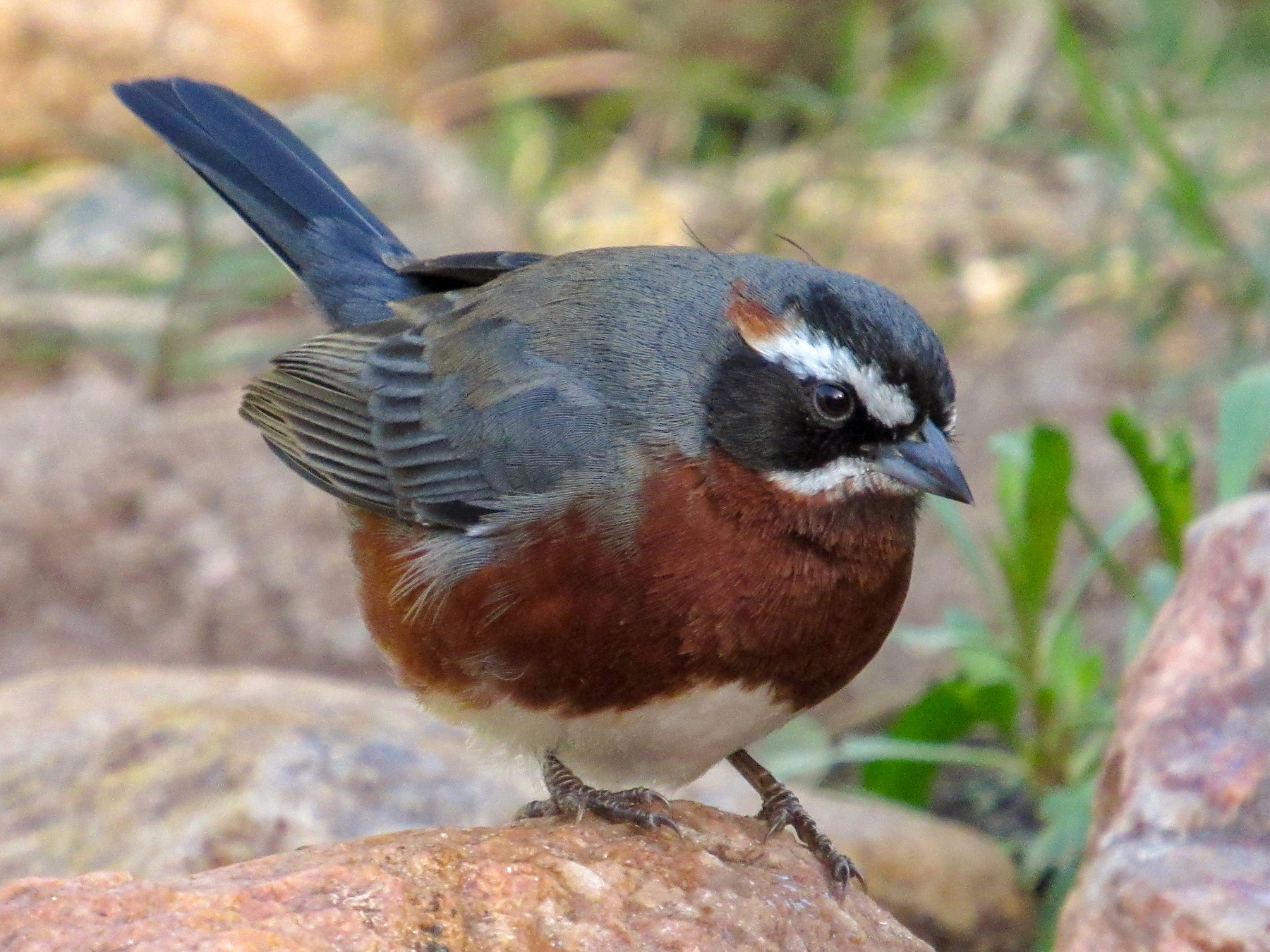 Black-and-chestnut Warbling-Finch - samuel olivieri bornand