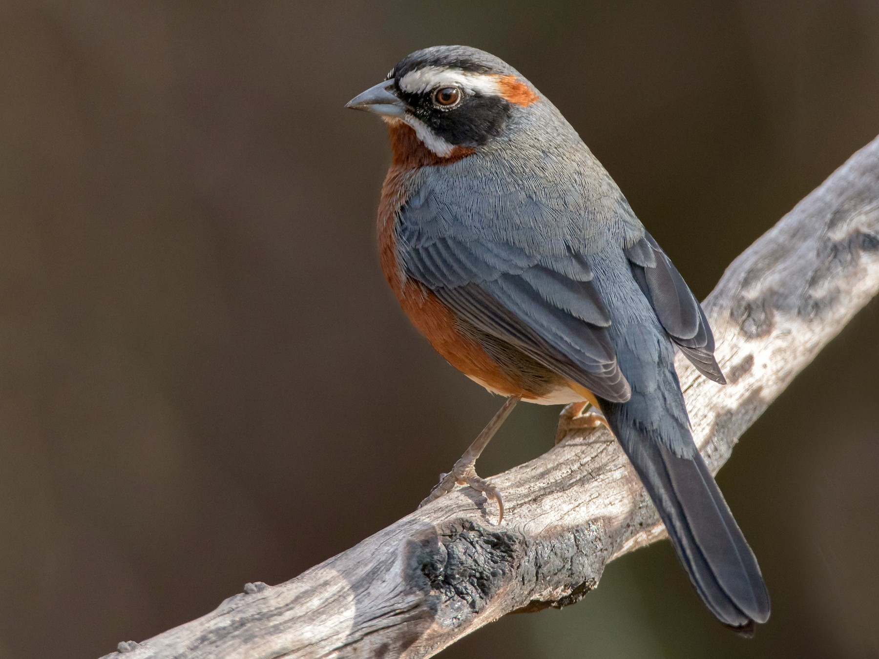 Black-and-chestnut Warbling-Finch - Pablo Re