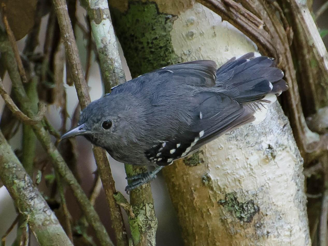 White-flanked Antwren - Marcos  Eugênio Birding Guide
