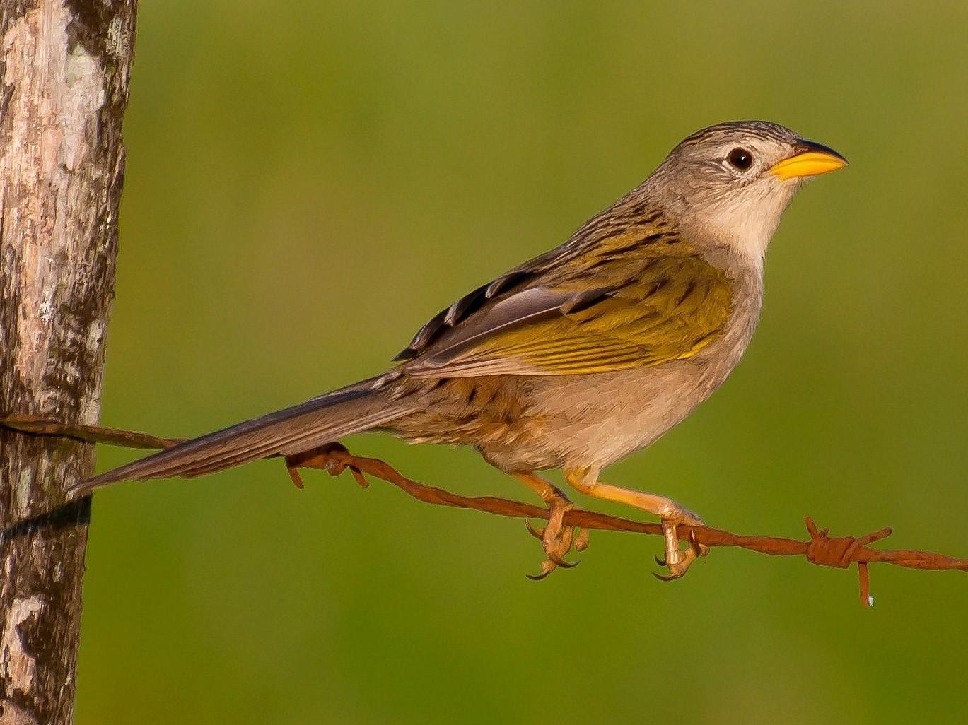 Wedge-tailed Grass-Finch - Marcos Eugênio Birding Guide