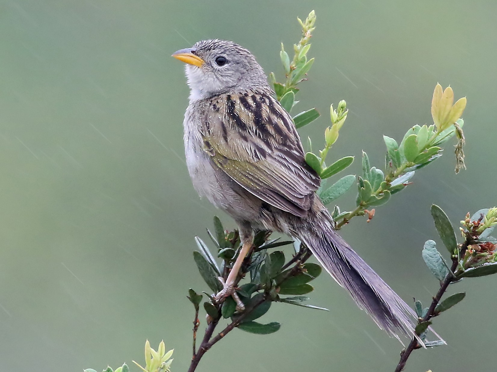 Wedge-tailed Grass-Finch - Phillip Edwards