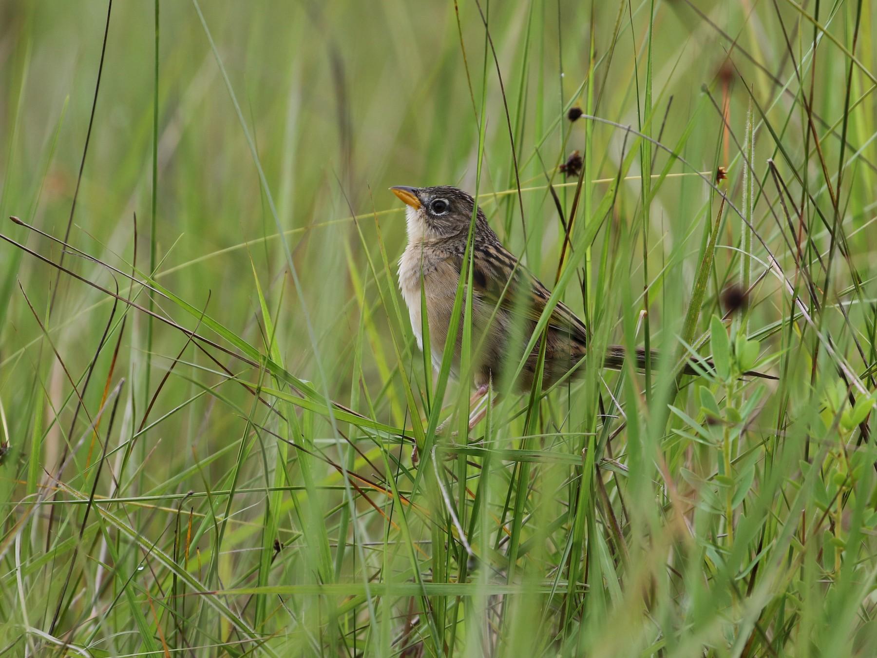 Wedge-tailed Grass-Finch - John van Dort