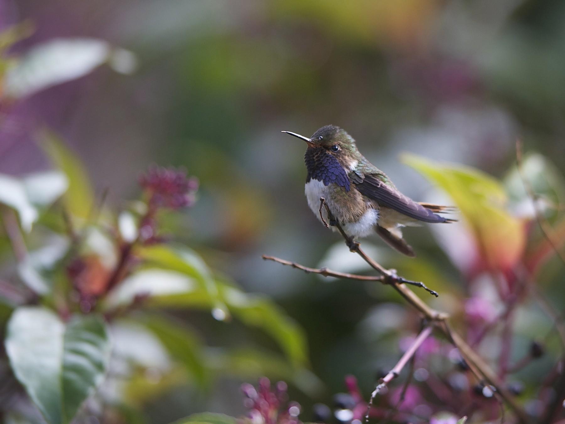 Volcano Hummingbird - Marc FASOL
