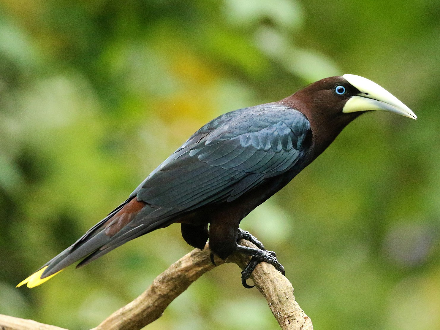 Chestnut-headed Oropendola - Carlos Sanchez