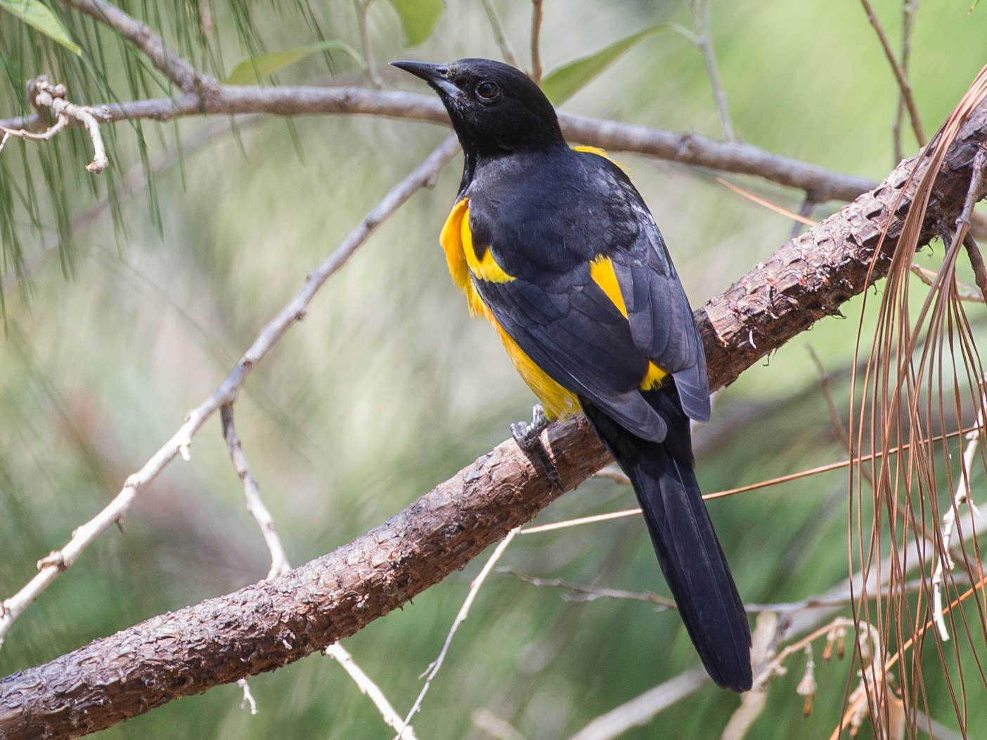 Black-vented Oriole - Chris Wood