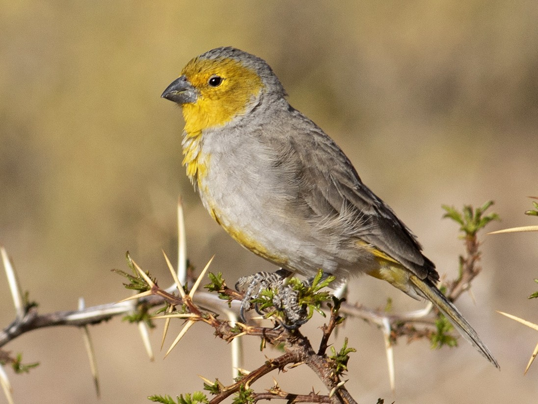 Citron-headed Yellow-Finch - Sam Woods