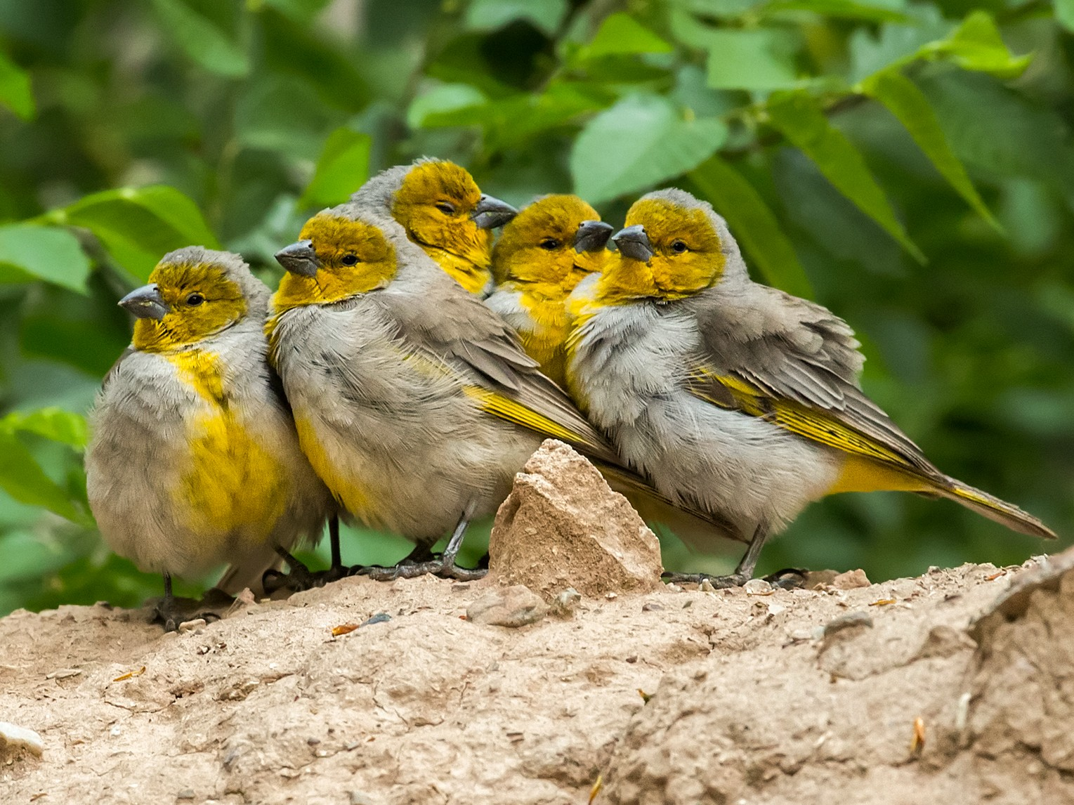 Citron-headed Yellow-Finch - Nick Athanas