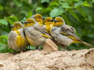 - Citron-headed Yellow-Finch