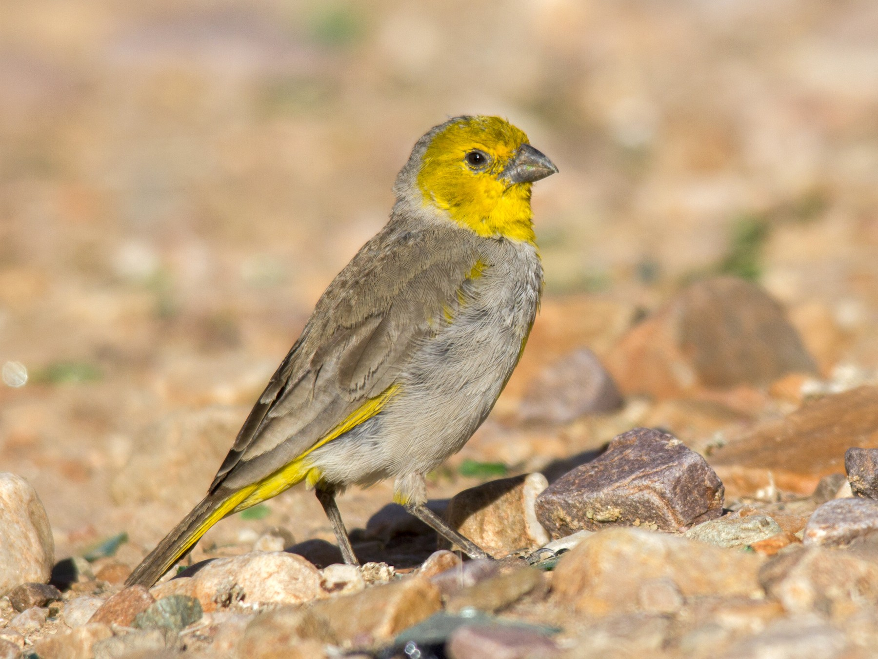 Citron-headed Yellow-Finch - Andres Vasquez