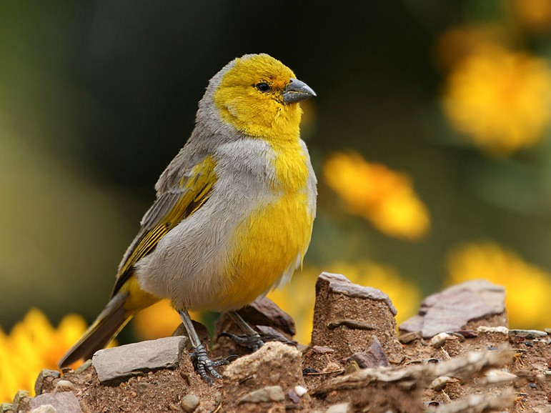 Citron-headed Yellow-Finch - Silvia Vitale