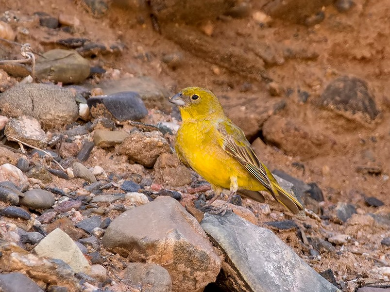 Monte Yellow-Finch - Andrés  Terán