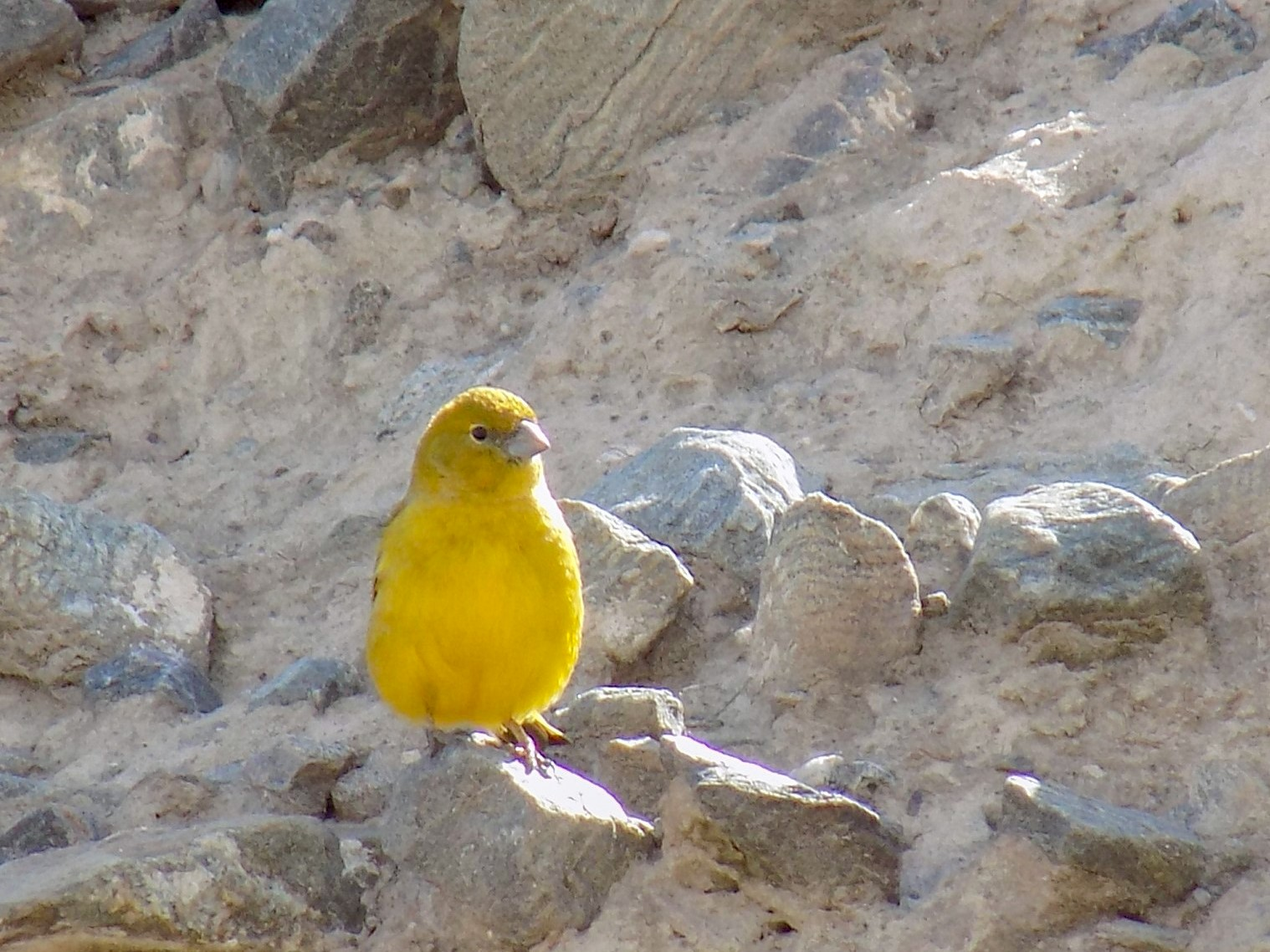 Monte Yellow-Finch - Francisco Cornell