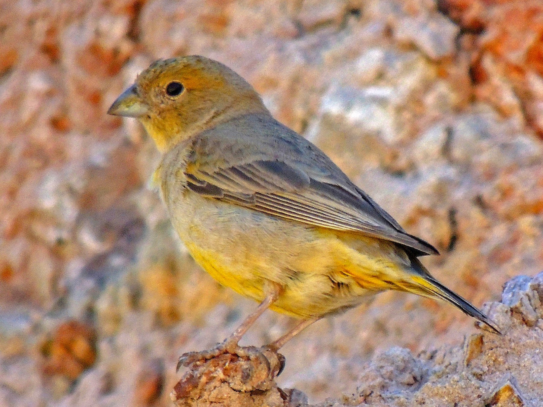 Monte Yellow-Finch - Hugo Hulsberg