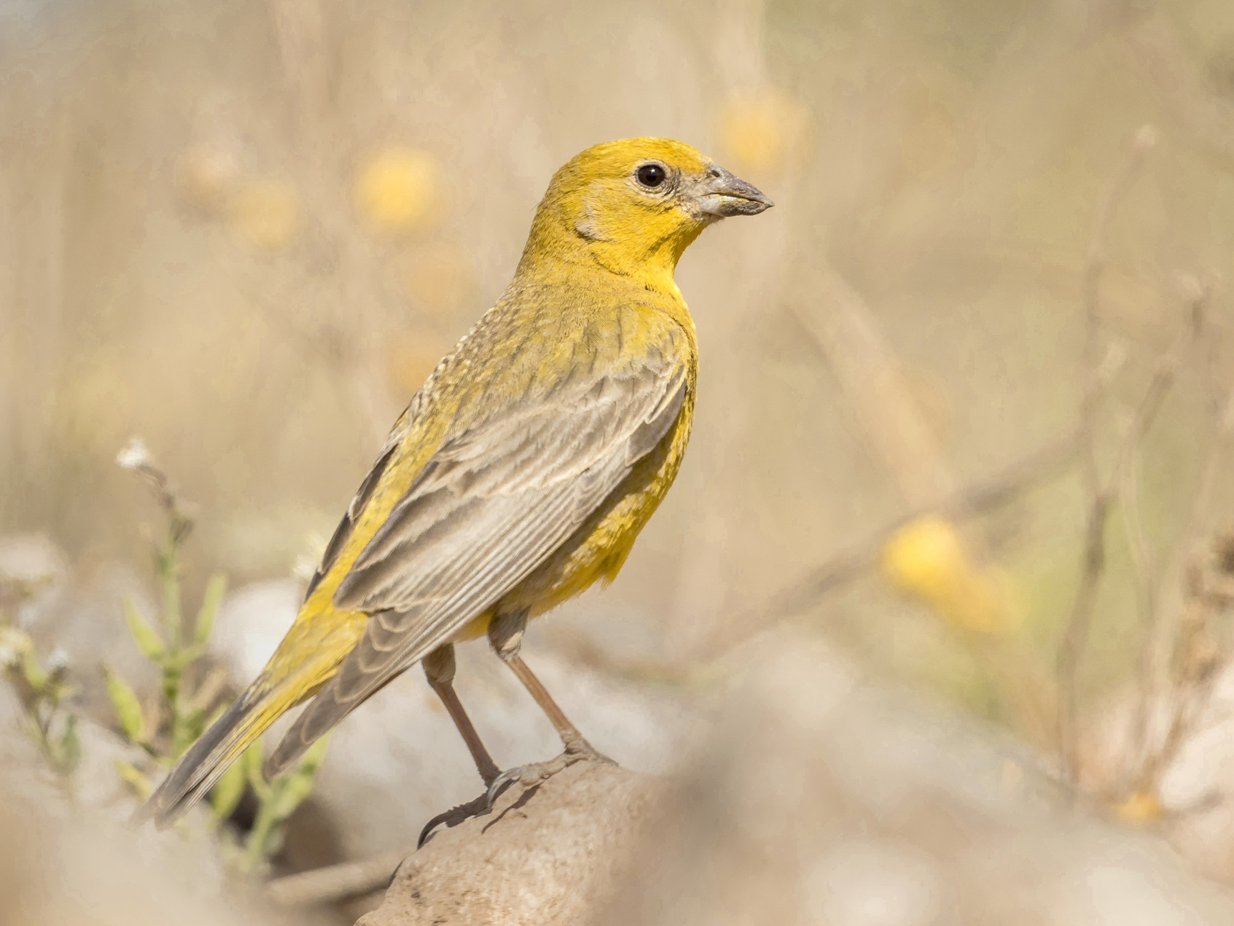 Monte Yellow-Finch - Martín  Perez