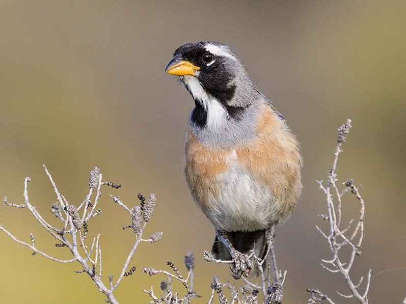 Many-colored Chaco Finch - Evangelina Indelicato