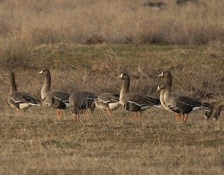 Greater White-fronted Goose, ML24388731