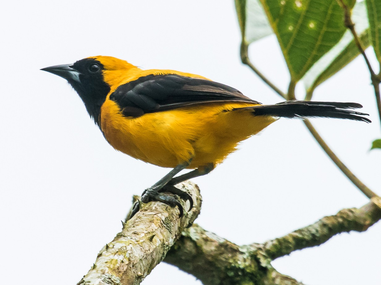 Yellow-backed Oriole - David Monroy Rengifo