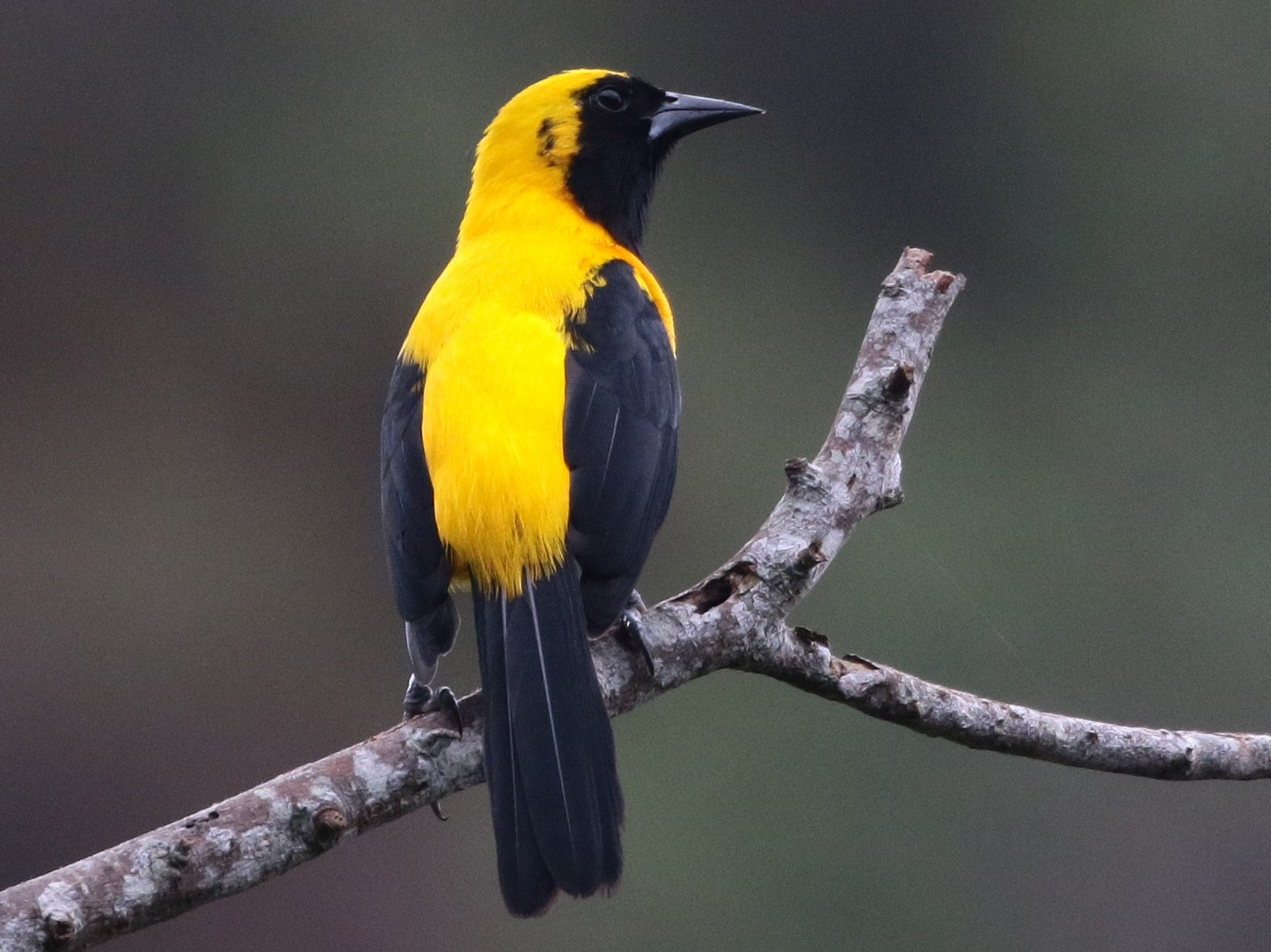 Yellow-backed Oriole - Margareta Wieser