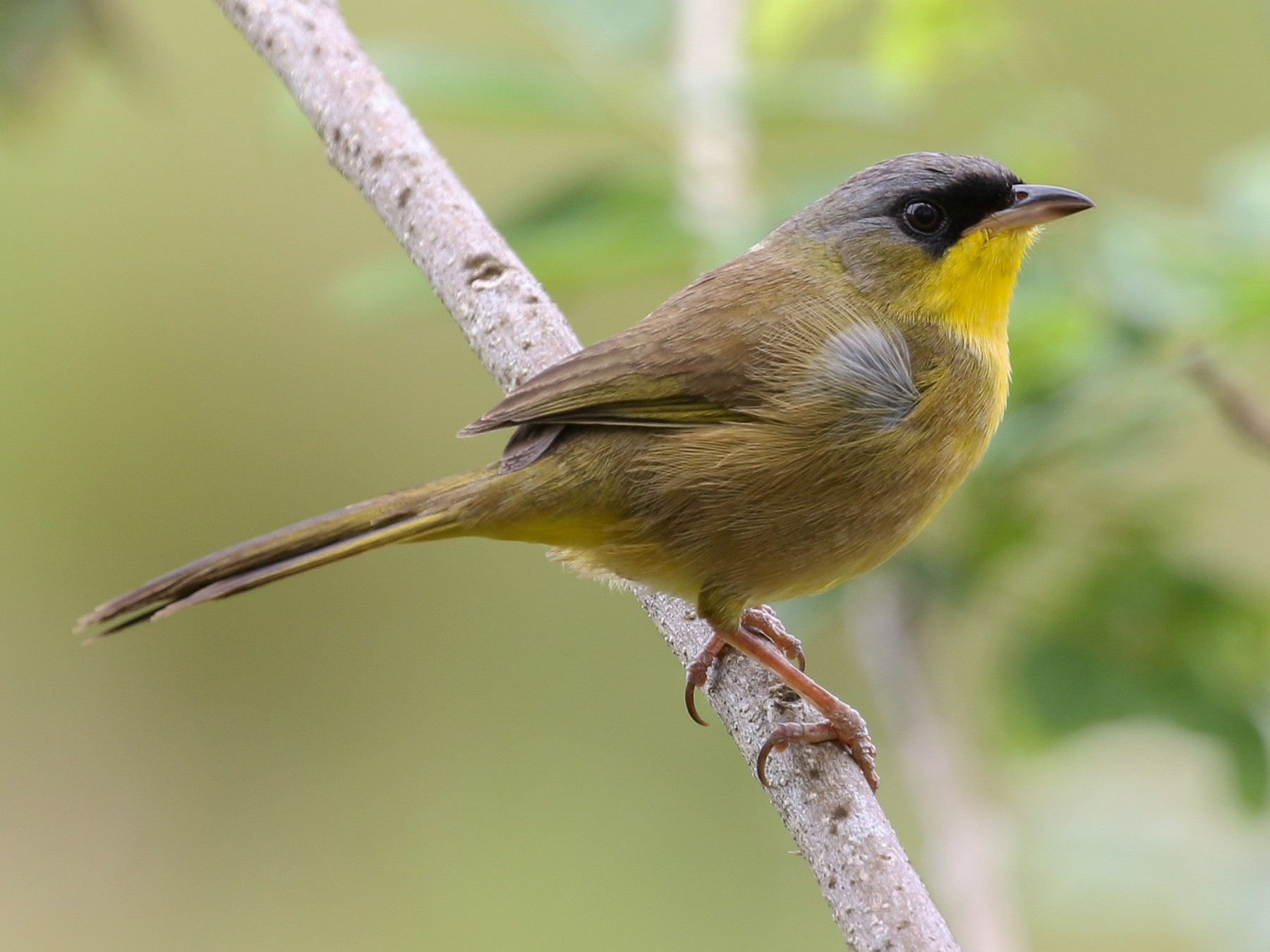 Gray-crowned Yellowthroat - Blair Dudeck
