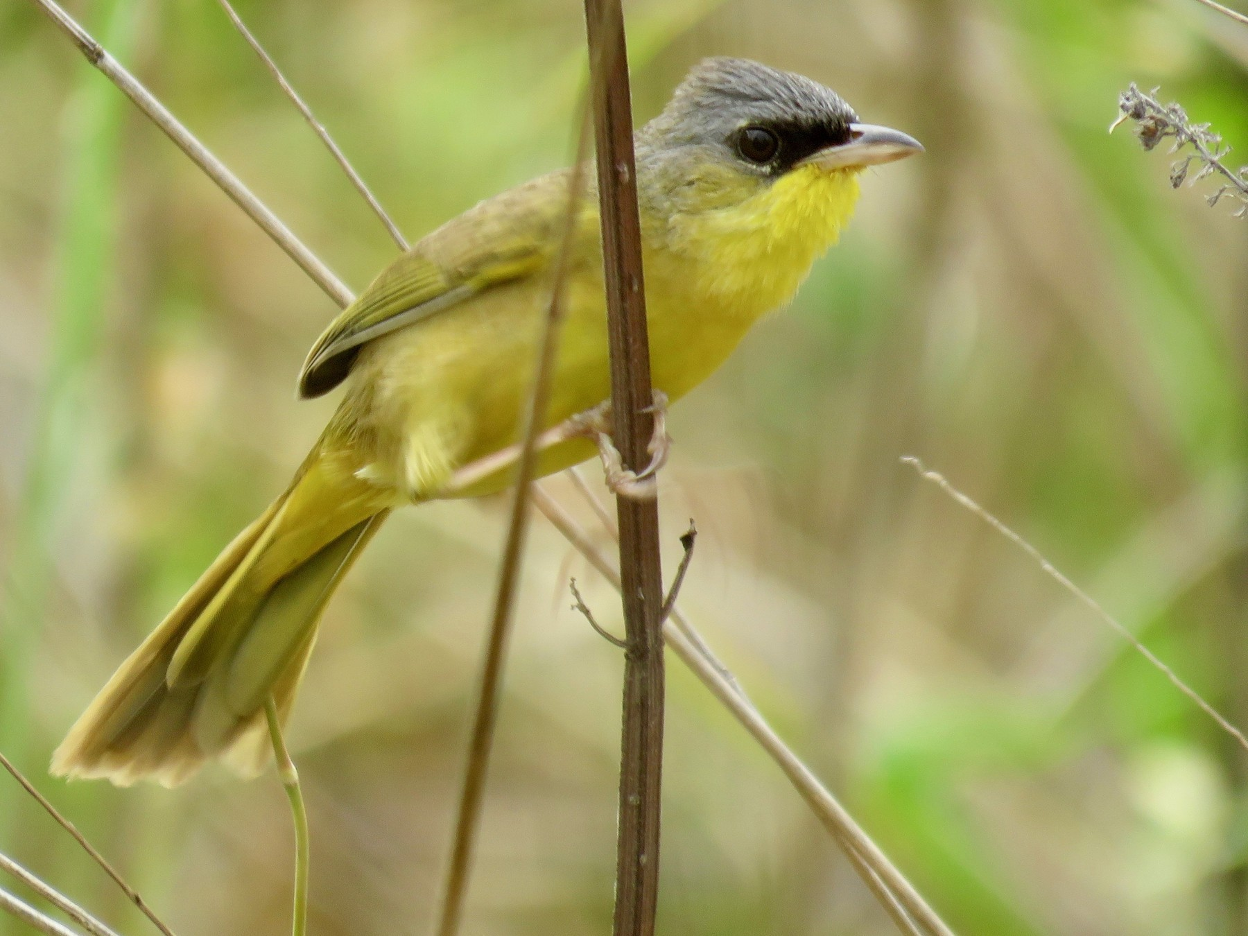 Gray-crowned Yellowthroat - John van Dort