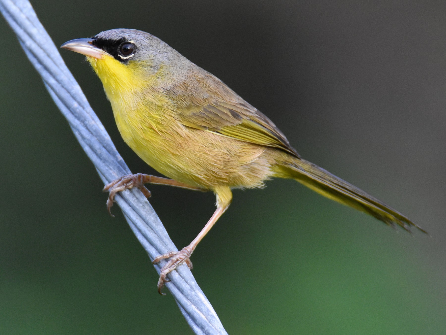 Gray-crowned Yellowthroat - Luke Berg