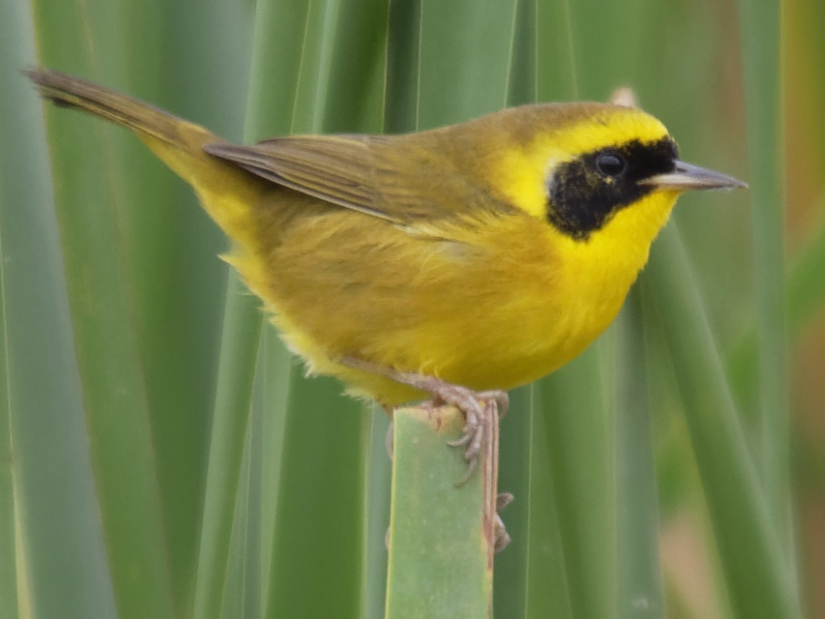 Altamira Yellowthroat - Dina Perry