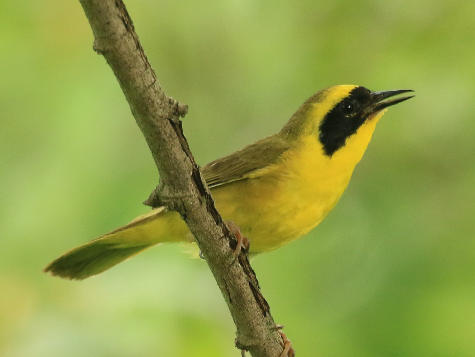 Altamira Yellowthroat - Rene Valdes
