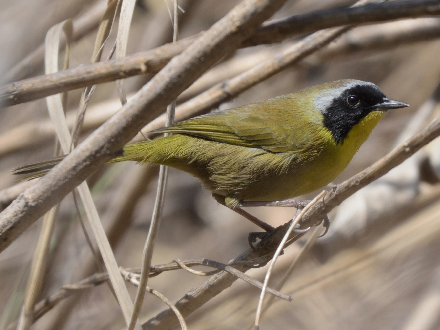 Hooded Yellowthroat - German Garcia