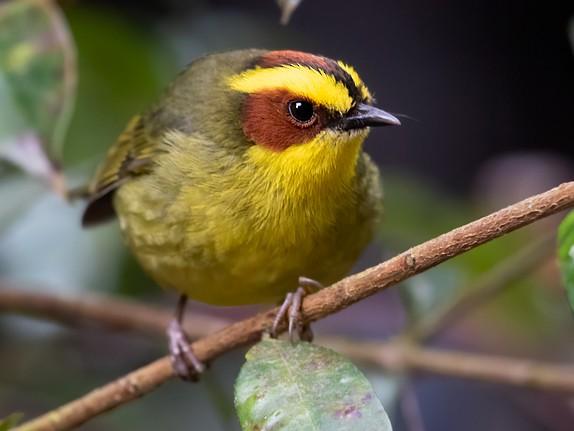 Golden-browed Warbler - Dubi Shapiro