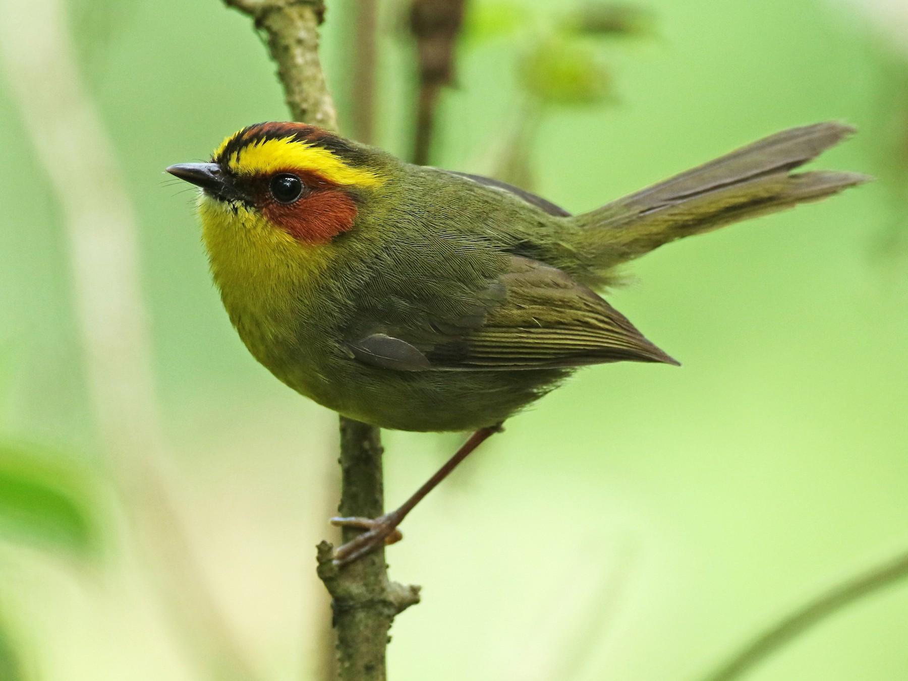 Golden-browed Warbler - Luke Seitz