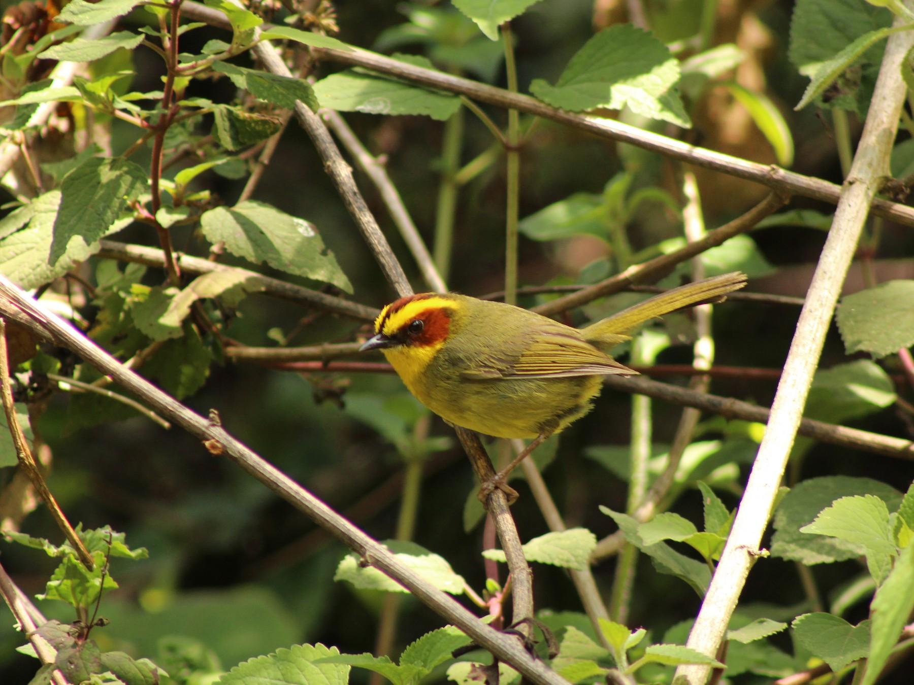 Golden-browed Warbler - Esteban  Matias