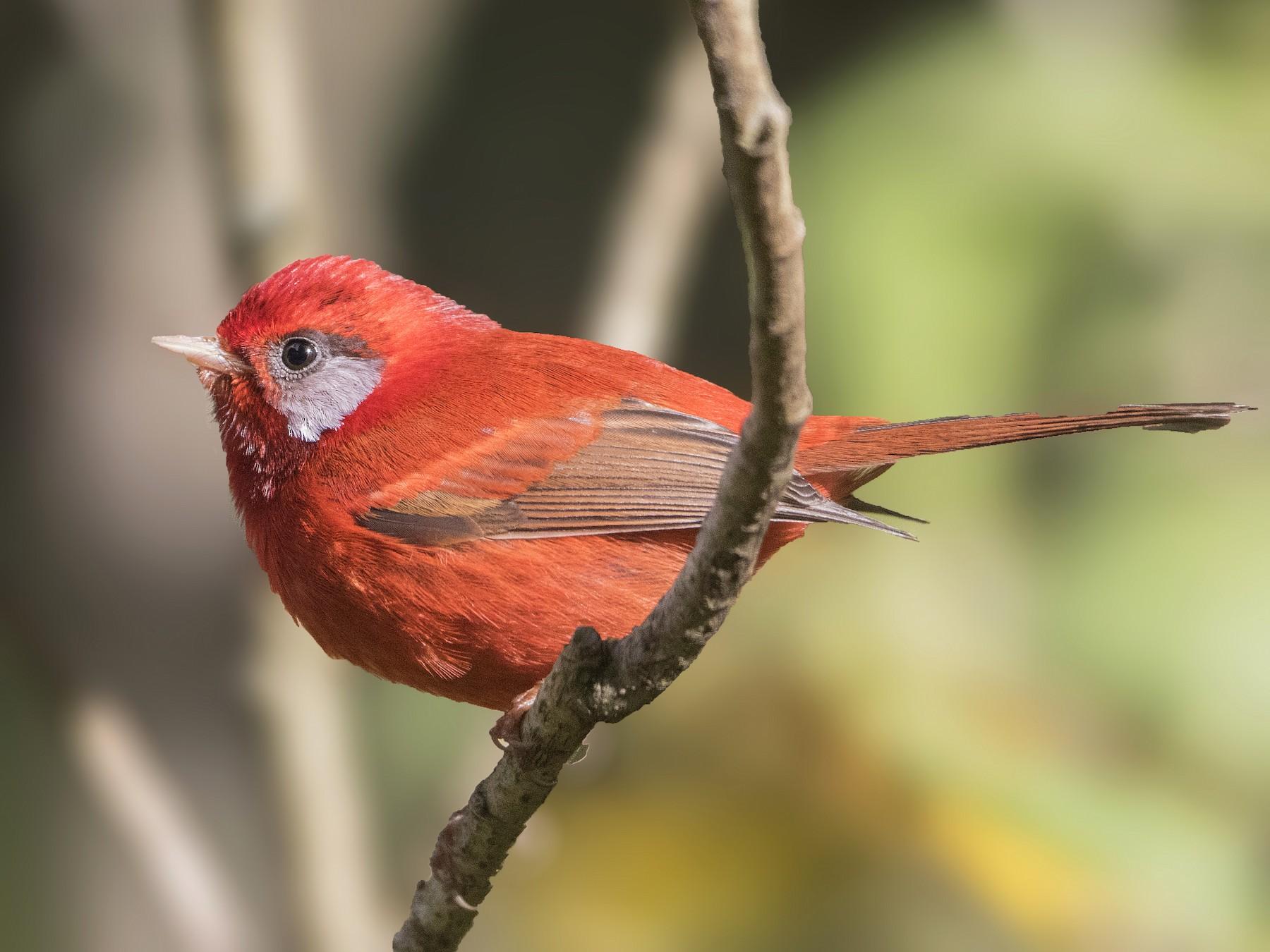 Red Warbler - Bradley Hacker 🦜